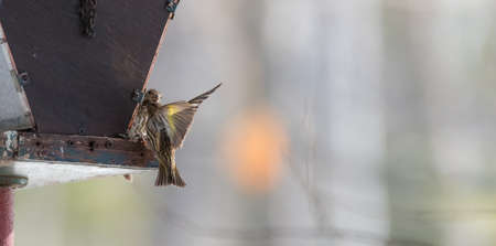 duelling: Pine Siskin finches (Carduelis pinus) - in spring competing for space and food at a feeder in a woodland area of Northern Ontario, take to the air in a scuffle over territory. Stock Photo