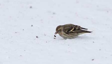 finds: Small Pine Siskin finds and eats a sunflower seed showing its streaky patterns and touches of yellow as it searches for seeds in spring corn snow.