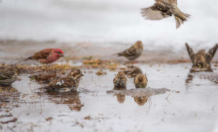 Purple (Haemorhous purpureus), and Pine Siskin (Carduelis pinus) finches & sparrows bathe in a newly thawed snow puddle of cold water. Archivio Fotografico