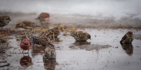 thawed: Purple (Haemorhous purpureus), and Pine Siskin (Carduelis pinus) finches & sparrows bathe in a newly thawed snow puddle of cold water. Stock Photo