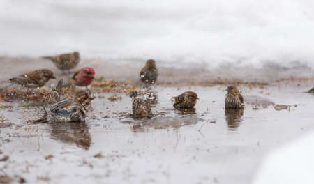 frantic: Purple (Haemorhous purpureus), and Pine Siskin (Carduelis pinus) finches & sparrows bathe in a newly thawed snow puddle of cold water. Stock Photo