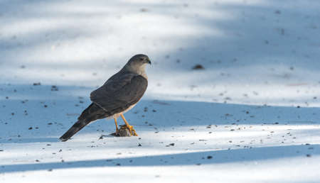 talons: With talons locked onto a fresh kill of prey, an adult Coopers Hawk (Accipiter cooperii), looks around after a successful hunt,  Pine Siskin finch for lunch.  Wildlife drama on spring corn snow.