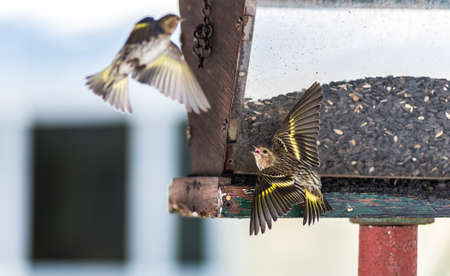 territorial: Pine Siskin finches (Carduelis pinus) in spring competing for space and food at a feeder.  Aerobatic displays and territorial squabbling at a feeder in a northern Ontario woods. Stock Photo