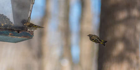 duelling: Pine Siskin finches (Carduelis pinus) in spring competing for space and food at a feeder.  Aerobatic displays and territorial squabbling at a feeder in a northern Ontario woods. Stock Photo