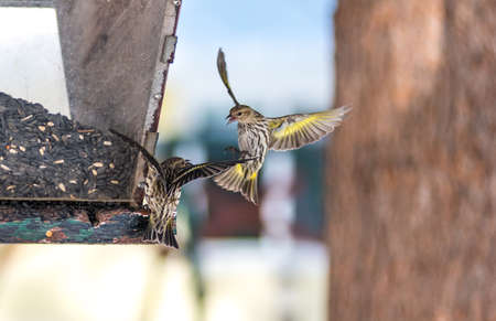 nimble: Pine Siskin finches (Carduelis pinus) in spring competing for space and food at a feeder.  Aerobatic displays and territorial squabbling at a feeder in a northern Ontario woods. Stock Photo