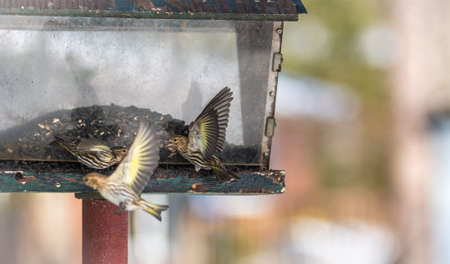 aerobatic: Pine Siskin finches (Carduelis pinus) in spring competing for space and food at a feeder.  Aerobatic displays and territorial squabbling at a feeder in a northern Ontario woods. Stock Photo