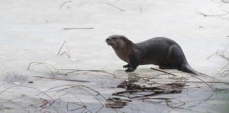 devour: North American river otter (Lontra canadensis) in the wild.  Water mammal with wet fur rests atop a frozen Eastern Ontario lake of ice & spring corn snow while eating a fresh frozen fish.