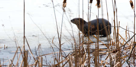 bulrushes: North American river otter (Lontra canadensis) in the wild.  Water mammal with wet fur rests atop a frozen Eastern Ontario lake of ice & spring corn snow while eating a fresh frozen fish.