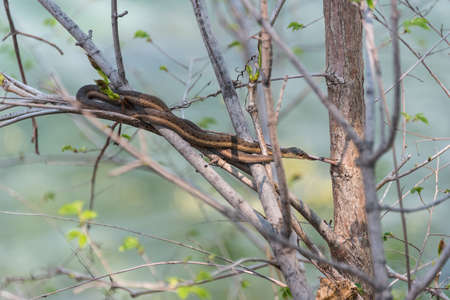 garter: Common Garter snake waits patiently still in a bush near waters edge on Niagara river.    Niagara river side wildlife.  Garter snake hunts in the bushes next to the Niagara river. Stock Photo