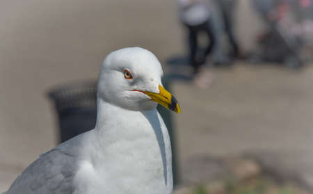 scavenging: Ring-billed Gull (Larus delawarensis) pauses on a ledge.  close up of very common bird as it looks away from the camera. Stock Photo