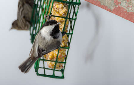 anticipating: Springtime comes, Black cap chickadee, Poecile atricapillus, on a feeder.  Grey spring day in early April.  Happy that the day is mild and anticipating the arrival of spring.
