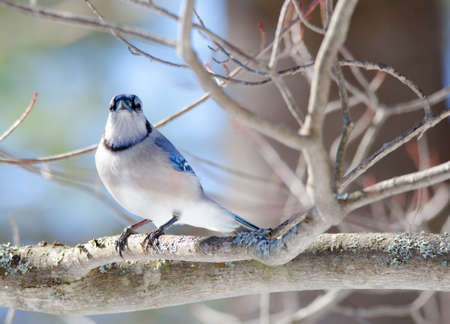 blue jay bird: Springtime Blue Jay (Cyanocitta cristata) in early springtime, perched on a branch, observing and surveying his domain.