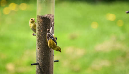 animal  bird: Little Yellow birds - American Goldfinches (Spinus tristis) feeding at a seed feeder as they make their new homes.