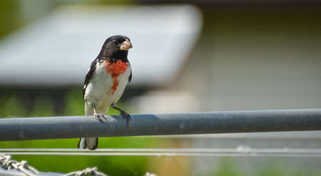 A Rose Breasted Grosbeak (Pheucticus ludovicianus) lands on a nearby clothesline briefly for a view of his surroundings.