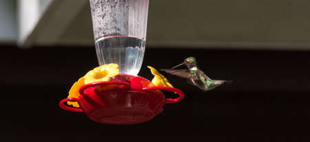 elusive: Ruby throated hummingbird (Archilochus colubris) in springtime at a sweet water nectar feeder. Stock Photo