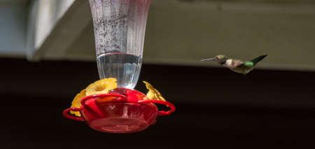 Super jet plane hummingbird.  Ruby throated hummingbird (Archilochus colubris) in springtime at a sweet water nectar feeder.