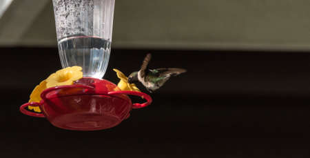 ruby throated: Ruby throated hummingbird (Archilochus colubris) in springtime at a sweet water nectar feeder. Stock Photo