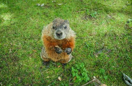 A marmot gopher standing up and looking at camera and appears to make a request, funny photo of cross looking groundhog in a park with wild animals on Bate Island in Ottawa, Canada. Imagens