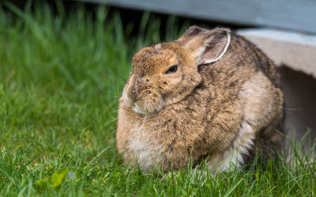 caes: Old senior bunny Snowshoe hare, ears back, looking at camera. I tries to fall asleep - what do you want ?  comes out from under his lodge in Springtime appearing very smart.