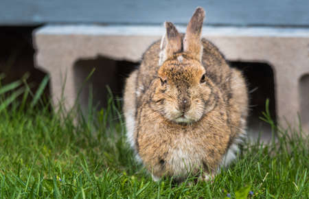Old senior bunny Snowshoe hare, ears back, looking at camera. I tries to fall asleep - what do you want ?  comes out from under his lodge in Springtime appearing very annoyed.