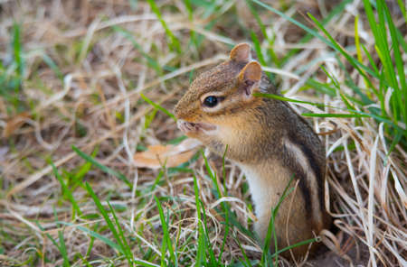 burrow: Cutest little chipmunk ever, (Tamias), smallest member of the squirrel family, pops out and sits atop his burrow in the ground.    Springtime animal in the grass. Stock Photo