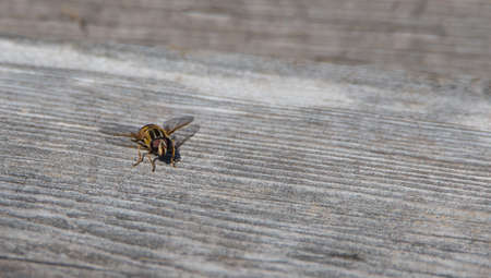 syrphid fly: Helophilus sp. syrphid fly is a yellow striped flowerfly that looks like a yellowjacket wasp.  Helophilus sp. syrphid fly looks like a wasp lands on a deck board in springtime warmth.