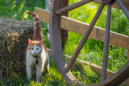 sneaks: A young pet cat with a bell collar and wet with morning meadow dew,   playfully sneaks around a wagon wheel and hay bale in a country style back yard. Stock Photo