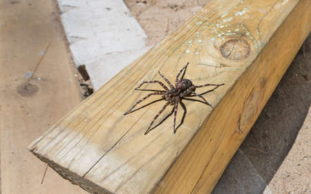 pisauridae: Canadas largest creepy looking spider, the Dock spider of the Pisauridae family, (Dolomedes sp), sitting atop a piece of 4x4 lumber on a sunny day.