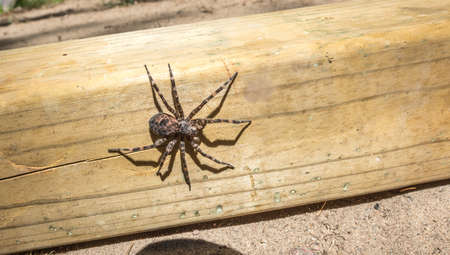crawly: Canadas largest creepy looking spider, the Dock spider of the Pisauridae family, (Dolomedes sp), sitting atop a piece of 4x4 lumber on a sunny day.