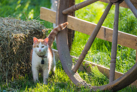sneaks: A young pet cat with a bell collar and wet with morning meadow dew, playfully sneaks around a wagon wheel and hay bale in a country style back yard.