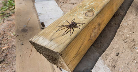 Large creepy looking spider, lies in wait.  The Dock spider of the Pisauridae family, (Dolomedes sp), sitting atop a piece of 4x4 lumber on a sunny day. Stock Photo