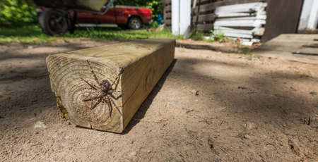 Large creepy looking spider, lies in wait.  The Dock spider of the Pisauridae family, (Dolomedes sp),hiding out of sight on the end of a piece of 4x4 lumber on a   sunny day. Stock Photo