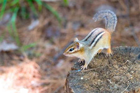 Eastern Chipmunk (tamias) sits atop a wood stump.  Small squirrel pauses to survey his summer sunny surroundings.  Keeps an eye on another chipmunk nearby. Stock Photo