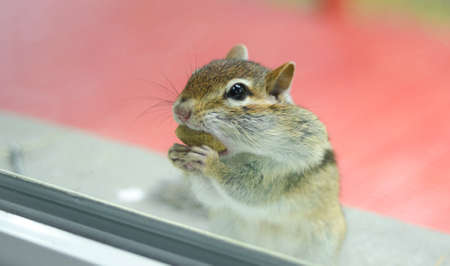 poised: A cute and endearing Eastern chipmunk eats peanuts while peering through window from outside.