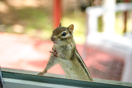 Are you in there? A cute adorable chipmunk with both front paws, feet on the window, looking inside my house.  Standing on the sill and looking to see what might be going on.