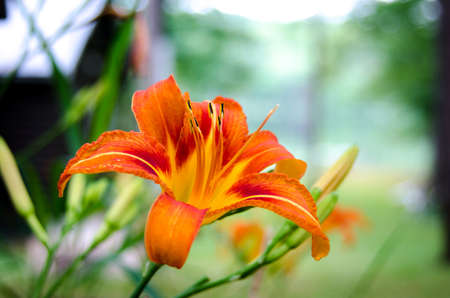 tiger lily: Tiger lily flower in a contrast, fiery orange bloom with stamen on a late summertime morning