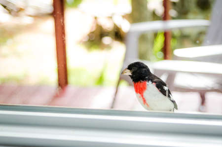 might: An adorable young Rose Breasted Grosbeak (Pheucticus ludovicianus) lands on my window ledge, and looks inside to see what I might be up to.