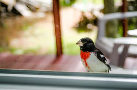 small clawed: An adorable young Rose Breasted Grosbeak (Pheucticus ludovicianus) lands on my window ledge, and looks inside to see what I might be up to.
