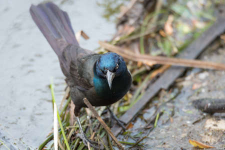 brewers: Young Brewers Black bird (euphagus cyanocephalus) forages along the banks of the Ottawa river for food scraps.