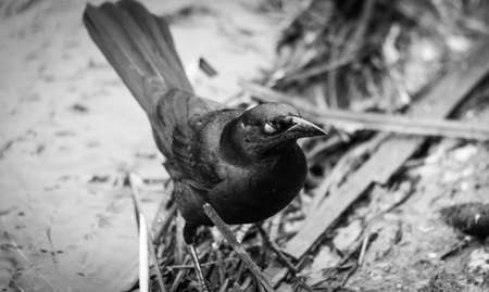 eerie: Eerie appearance of a brewers black bird in black and white as the camera captures the closed eye-lid.