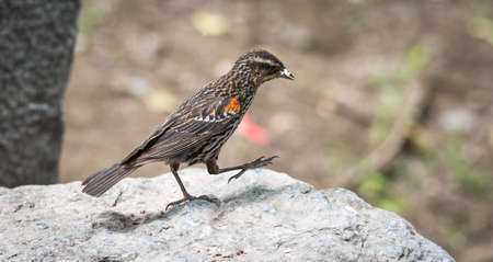 stepping: Stepping along - a young red wing Black bird forages for food