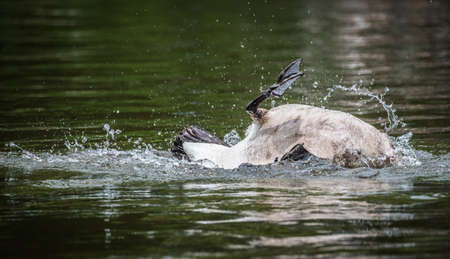 Canada goose loves bathing and frolicking with enthusiasm in the waters of the Ottawa River. Banco de Imagens - 62308711