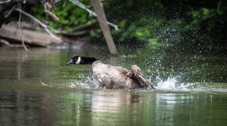 frolicking: Canada goose loves bathing and frolicking with enthusiasm in the waters of the Ottawa River. Stock Photo