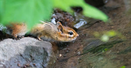 Smallest member of squirrel family, Eastern Chipmunk (Tamias) risks his life taking a drink from the water at the edge of the Ottawa river where potential predators lie in wait.