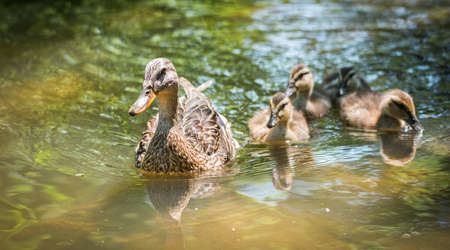 Young Mallard duck (Anas platyrhynchos) family - babies swimming together with their mom past the camera, ducklings close with mom on Ottawa river.