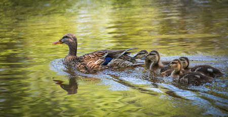 platyrhynchos: Young Mallard duck (Anas platyrhynchos) family - babies swimming together with their mom past the camera, ducklings close with mom on Ottawa river.