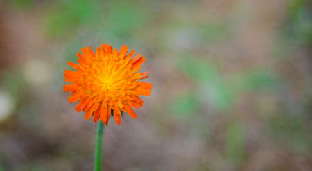 tentative: Orange weed flower, Hawkweed, of genus Hieracium, - slang name - folklore saying hawks would chew the brightly coloured plants, improving their eyesight.