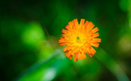 Orange weed flower, Hawkweed, of genus Hieracium, - slang name - folklore saying hawks would chew the brightly coloured plants, improving their eyesight.