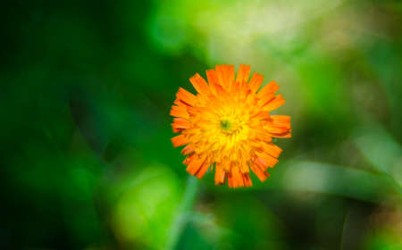 Orange weed flower, Hawkweed, of genus Hieracium, - slang name - folklore saying hawks would chew the brightly coloured plants, improving their eyesight.