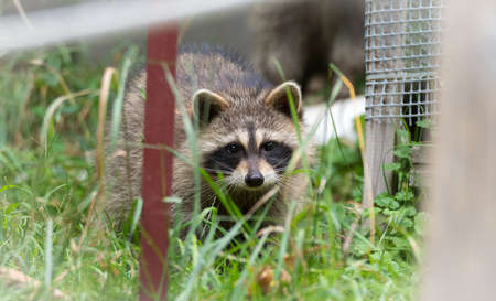 carnivora: Raccoon (Procyon lotor(s) in the woods at a feeder.  Smart young animals playfully but shyly make an appearance from the wood. Raccoons are a member of Carnivora order of mammals. Their family is the Procyonidae,